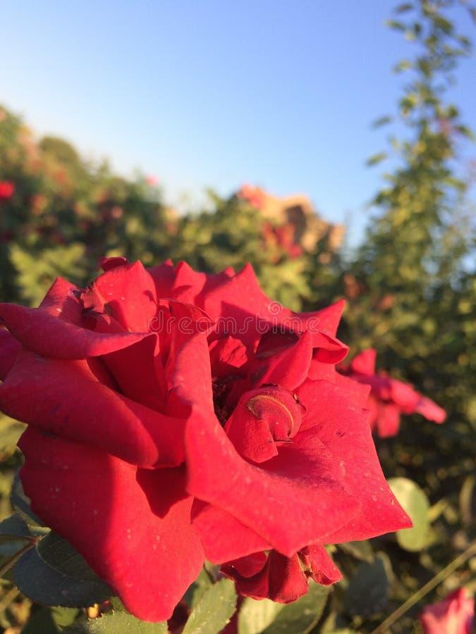Red rose and mausoleum of Kozha Akhmed Yasaui stock image