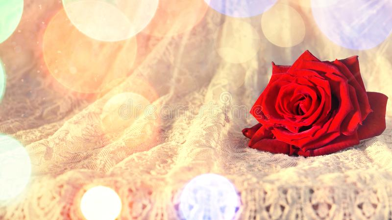 Red rose in the morning sun on a rustic-style lace dress. Valentine`s day background stock photo