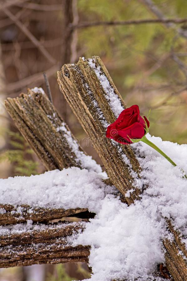 Red Rose On An Old Farm Fence. Red rose tucked into the snow clinging to the aged wood of a deteriorating wooden farm fence. The farm is long gone and is now royalty free stock photo