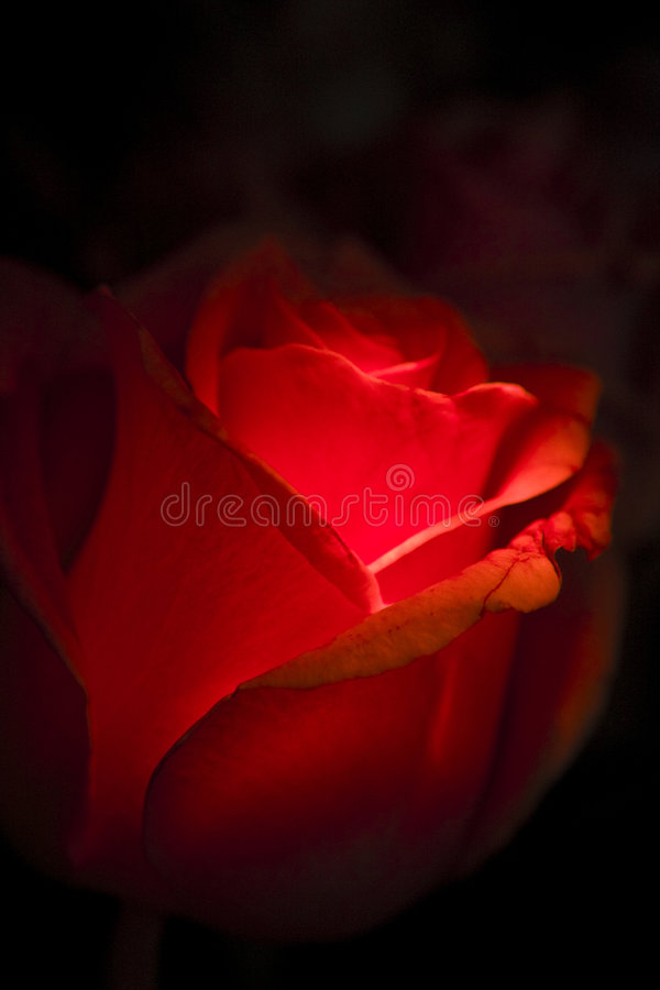 Free Red Rose On Black Royalty Free Stock Photos - 6304688