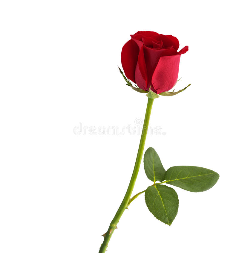 Free Red Rose On White Background Stock Image - 92044831
