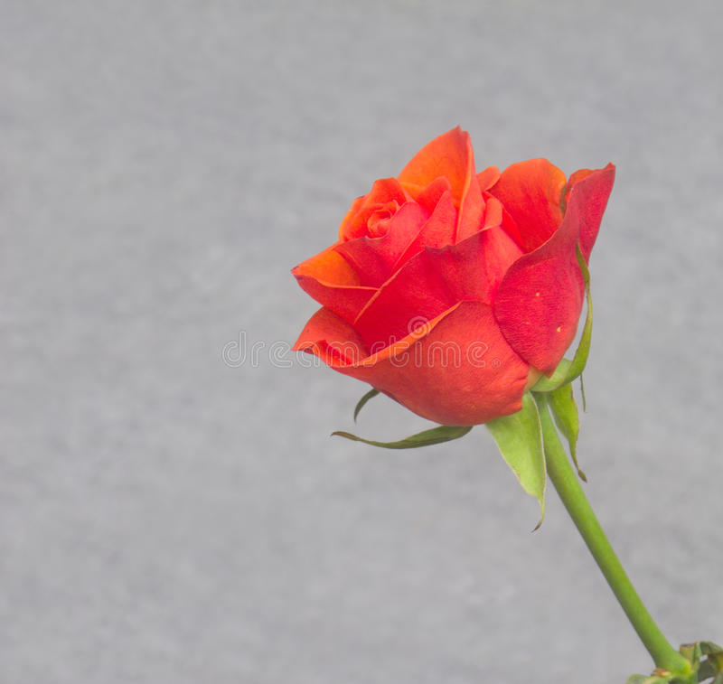 Download Red Rose Over Gray Background Stock Image - Image: 26612885
