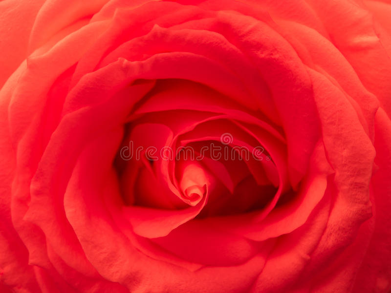 Red Rose Passion Royalty Free Stock Photos
