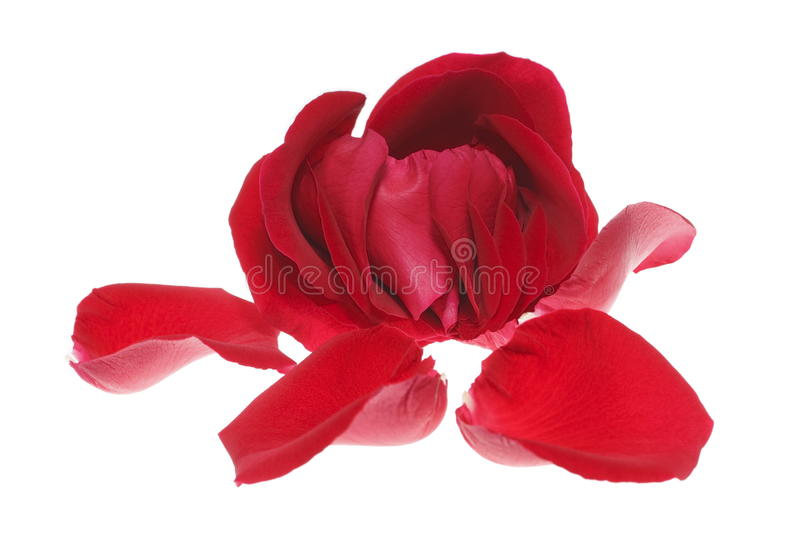 Red rose and petal isolated on white stock photography