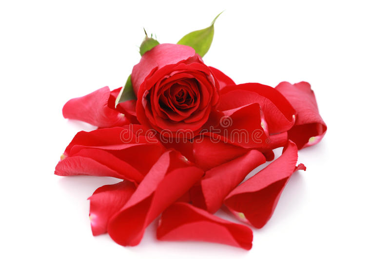 Download Red rose petals stock photo. Image of part, heap, flower - 12252406