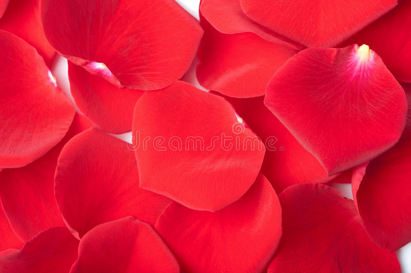 Download Red rose petals background stock image. Image of nature - 7906867