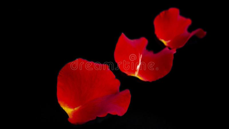 Red rose petals on black background. Isolated on black royalty free stock photo