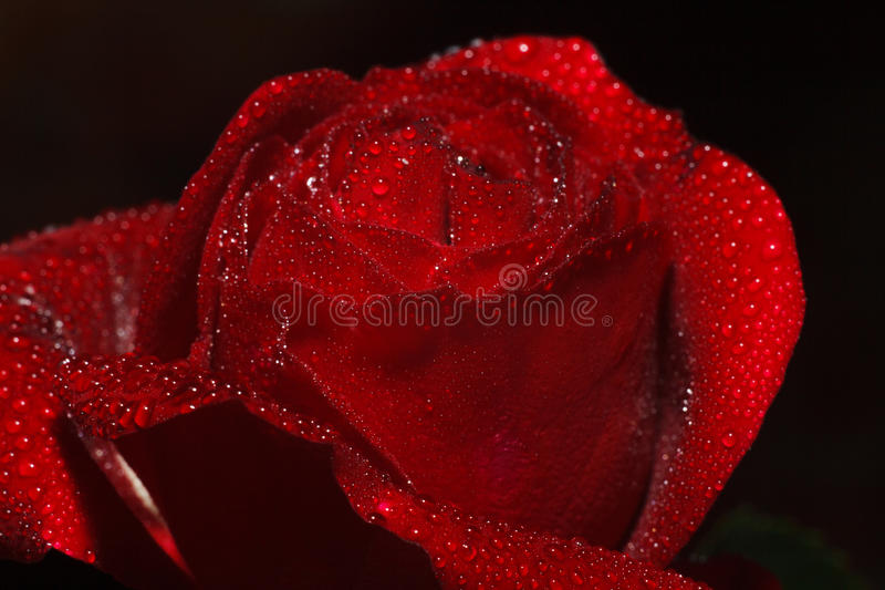 Red rose petals with rain drops closeup stock photography
