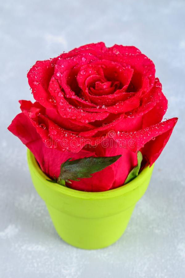Red rose petals with rain drops closeup. Red Rose. stock photo