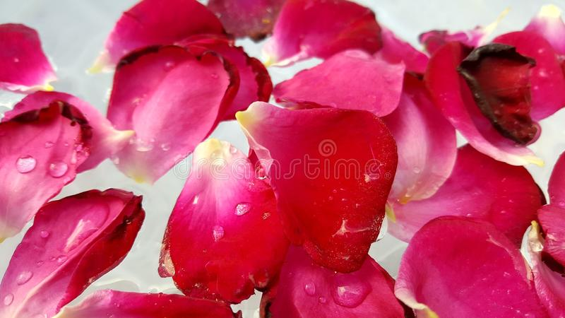 Red Rose Petals in Water stock photo