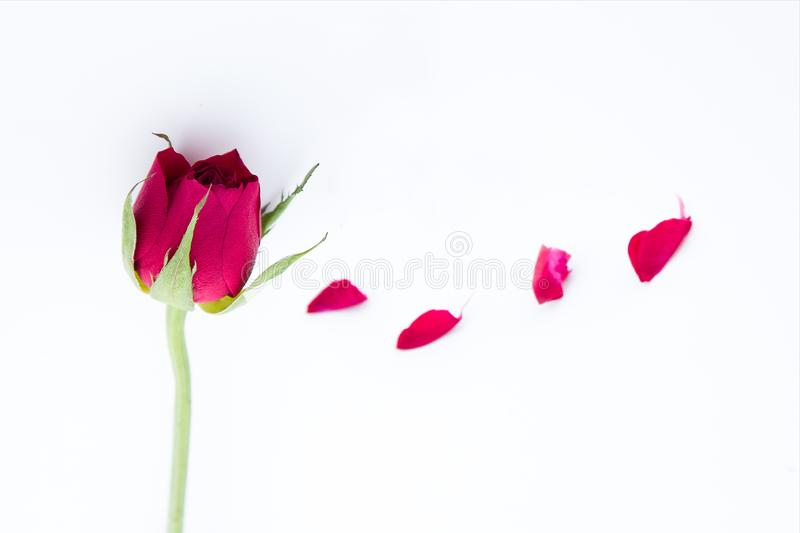 Red rose and petals on white background. stock image