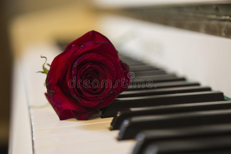 Red rose on a piano stock photos