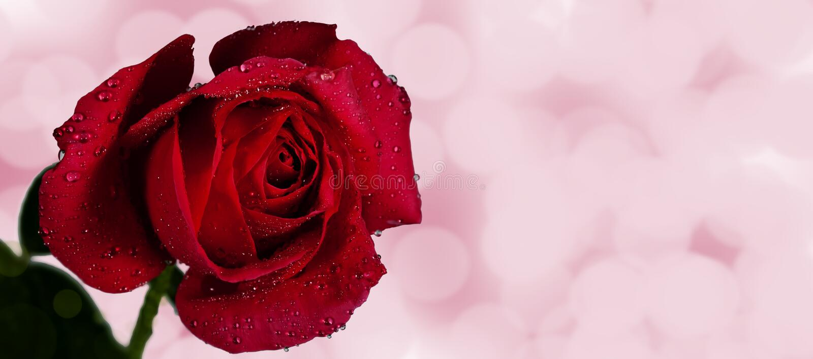 Red Rose Pink Bokeh Royalty Free Stock Image