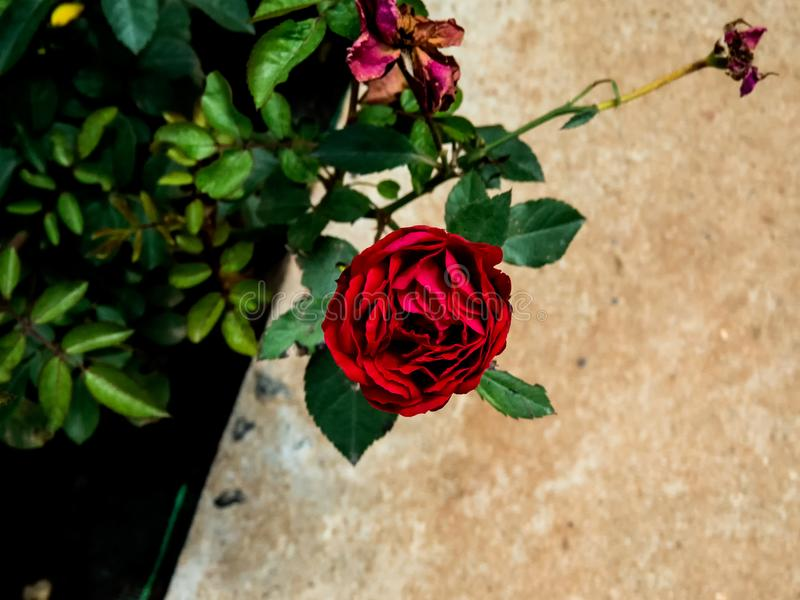 Red Rose on plant in a garden stock images