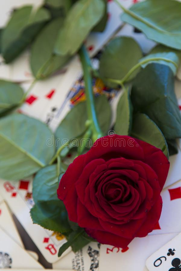 The red rose royalty free stock photography
