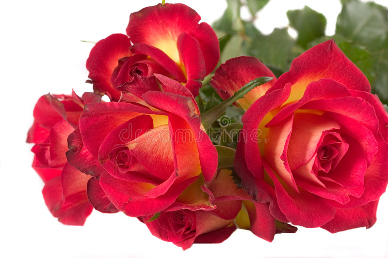 Red Rose (Pride of Kenya) royalty free stock photography