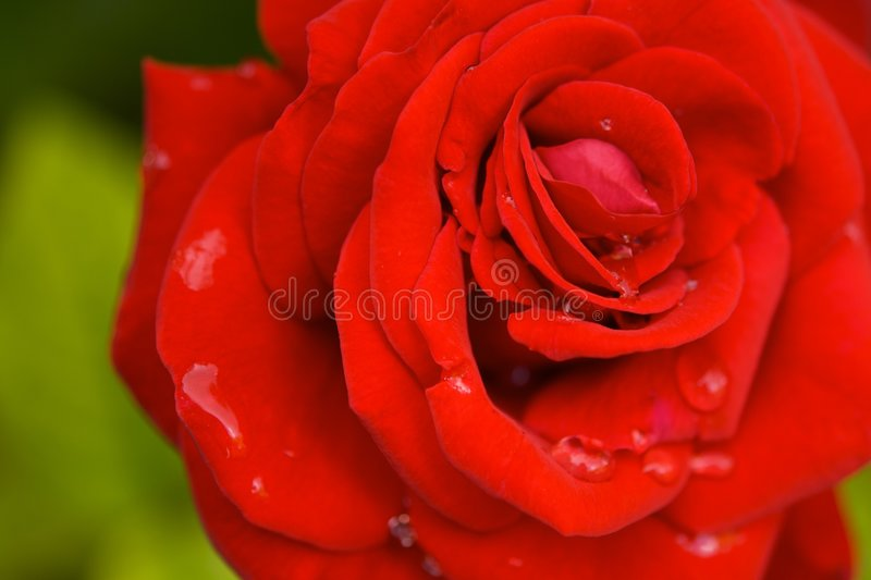 Red Rose with Rain Drops stock photo