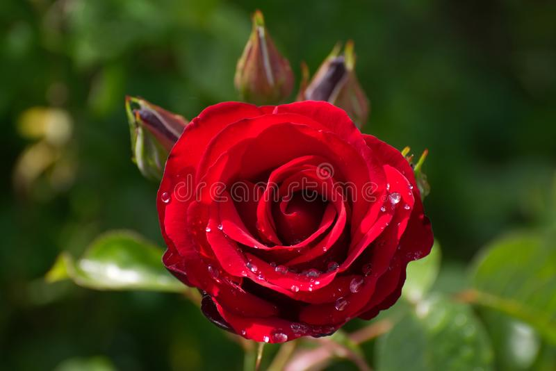 Red rose with rain drops in sunshine. A red rose in an English garden in June in Summer time royalty free stock image