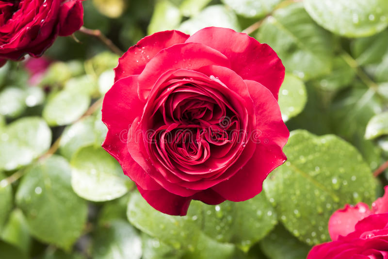 Red rose after rain in garden stock photo