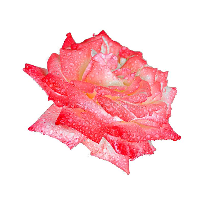 Red rose after rain isolated on a white background. Beautiful natural flower for postcards and design project.  stock photography