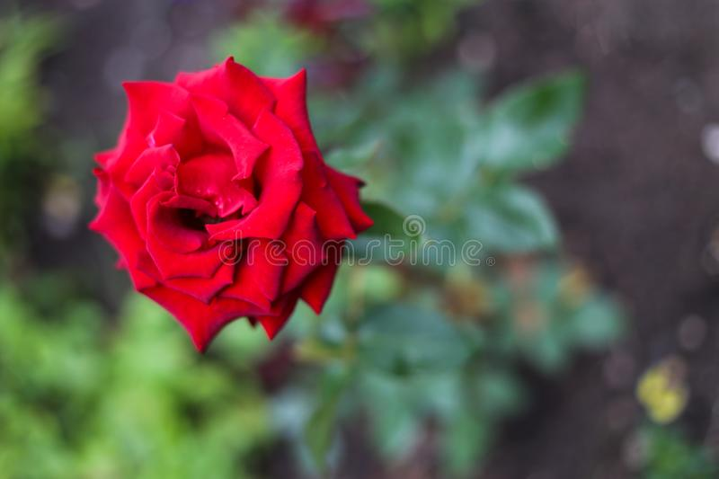 Red rose after rain standing straight in spite of wind. Fresh sweet smell and beauty makes people happynn royalty free stock images