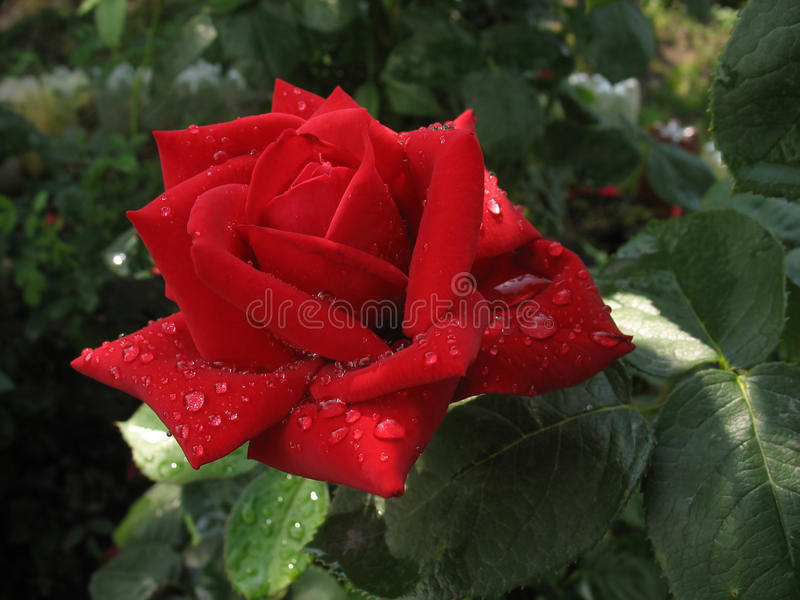 Red rose in raindrops stock image