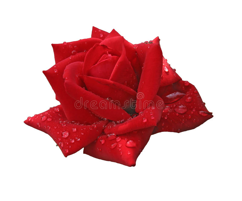 Red rose in raindrops isolated on white royalty free stock image