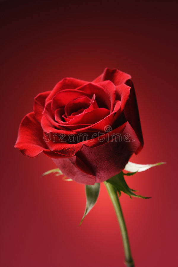 Red rose on red. royalty free stock photo