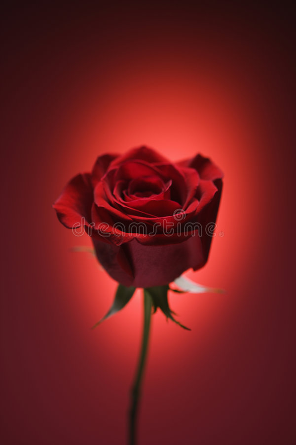 Red rose on red. Single long-stemmed red rose against glowing red background royalty free stock image
