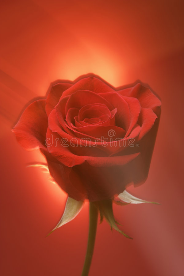 Red rose on red. Single long-stemmed red rose against glowing red background royalty free stock photography