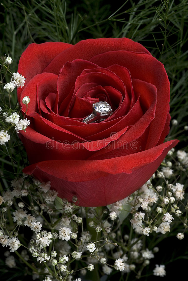 Red rose with ring stock images