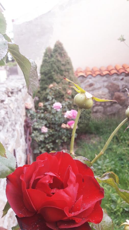 A red rose and a rose bud in the garden royalty free stock photos