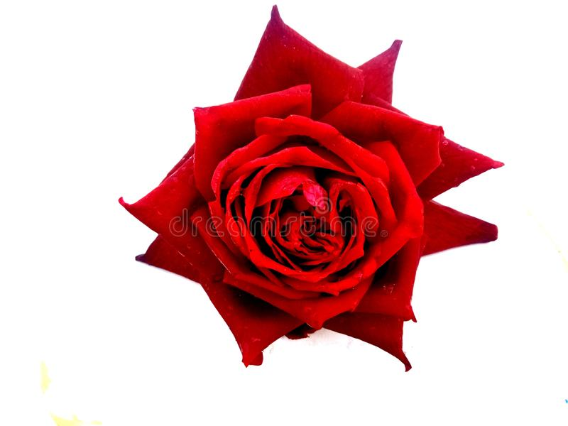 Red rose flower. Many uses for paintings,printing, book,covers,screen savers,web page,logo,mono, greeting cards,letter head etc royalty free stock photography