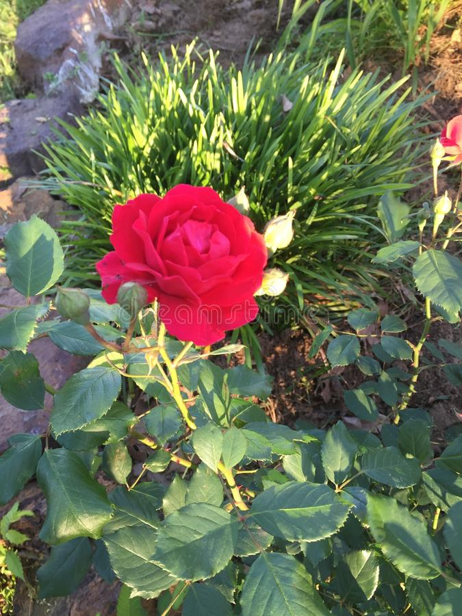 A red rose from rural East Texas royalty free stock photos