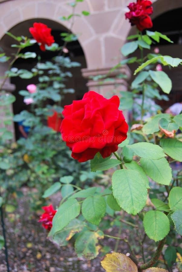 Red rose Santo Toribio de Liébana Cantabria stock photo