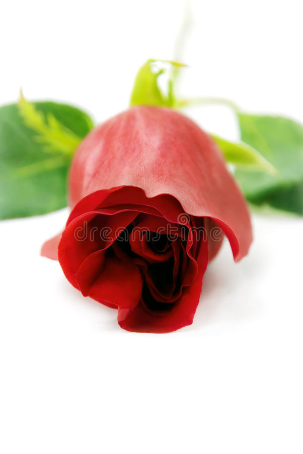 A Red rose seen from the front. royalty free stock photo