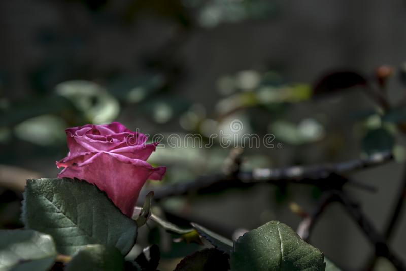 Red rose on a shallow depht of field. Red rose  outdoor on a shallow depht of field royalty free stock photo