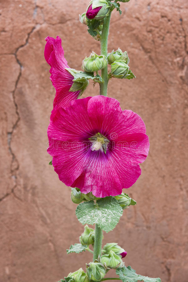 Red Rose of Sharon royalty free stock images