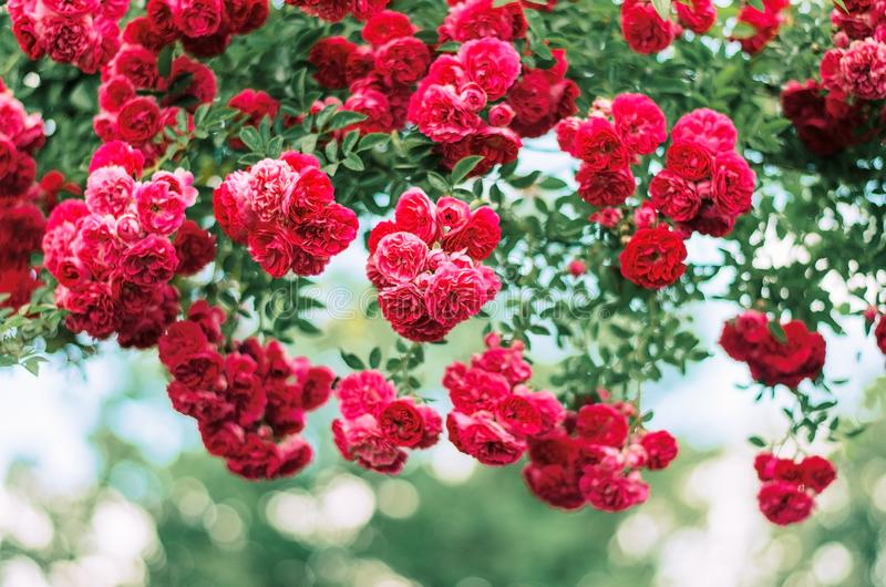 Red rose shrub. Beautiful red flowers. Summer day. Decoration for garden. Arch of roses royalty free stock images