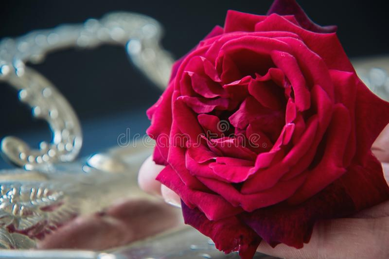 Red rose on a silver tray royalty free stock image