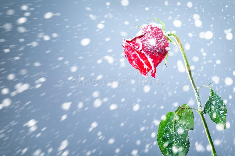 Red rose on snow background. Symbol of sadness and grief. Cold or unfriendly relationship. Concept stock images