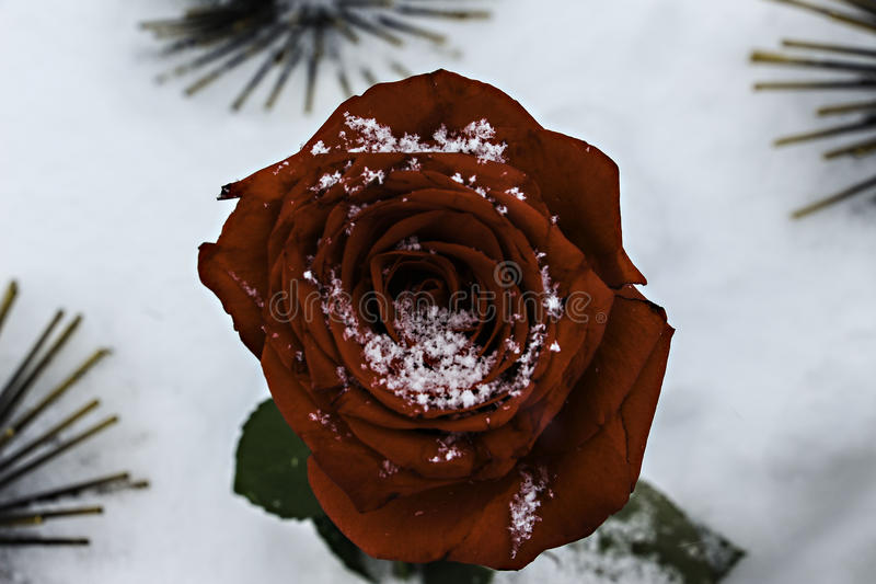 Red rose in the snow stock photos
