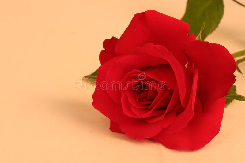 Red rose in soft focus on buff background stock image