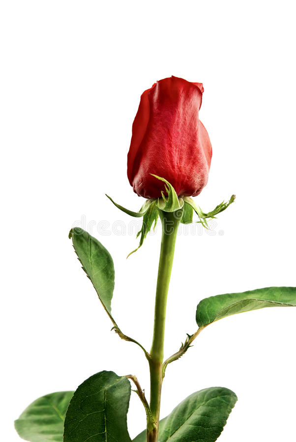 Red rose standing. stock image
