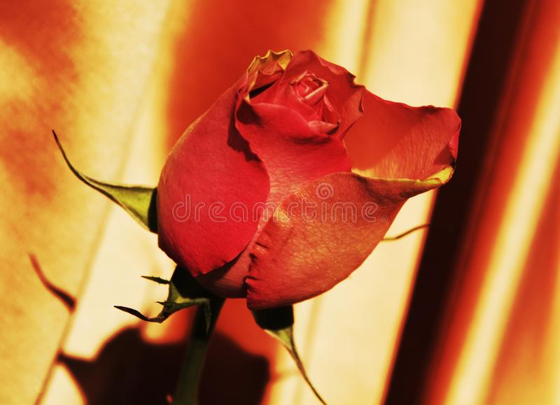 Red rose, symbol stock photography