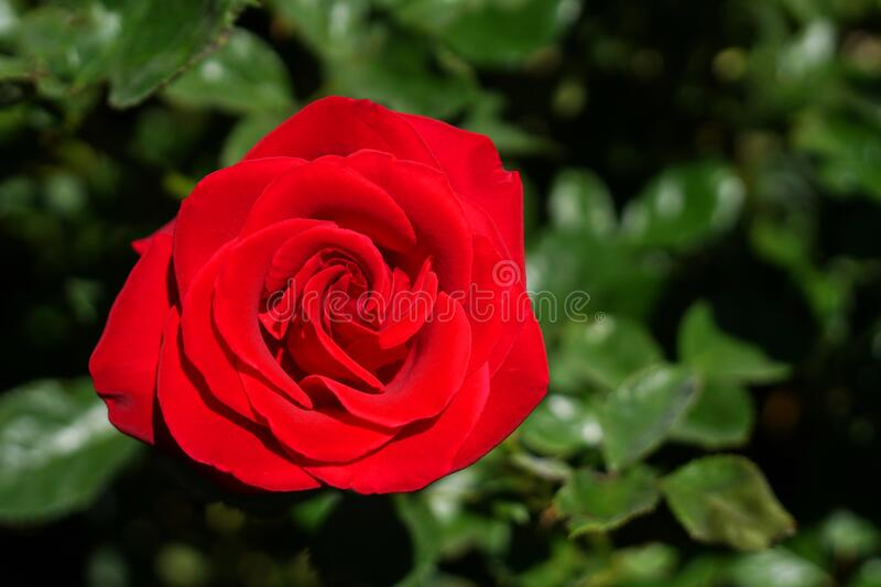 Red Rose - Top view fresh single blooming flower in the garden - image for valentine love concept  , Floral backdrop and beautiful royalty free stock photos