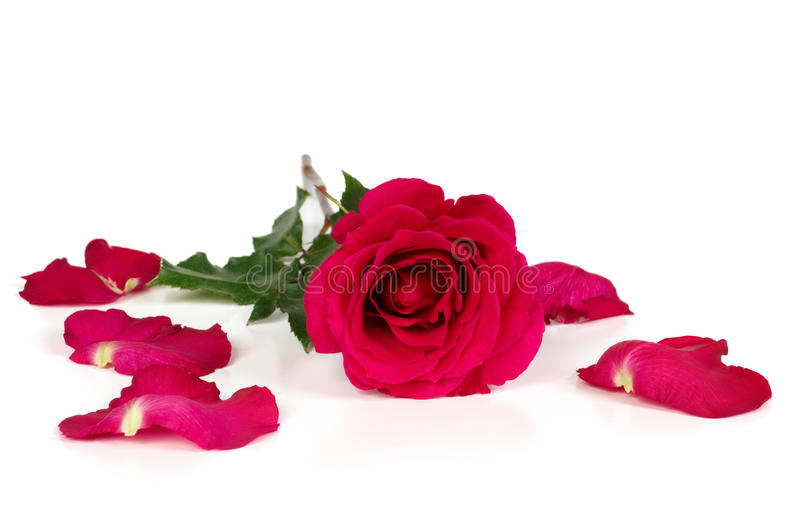 Download Red rose with torn petals stock image. Image of faded - 18005753