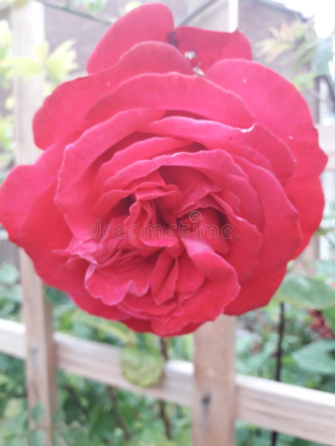 Red Rose With Trellis in the Background royalty free stock photography
