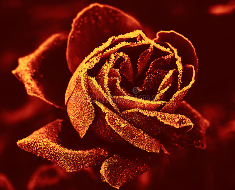Red Rose under hoar-frost. In yellow-red tone royalty free stock photos