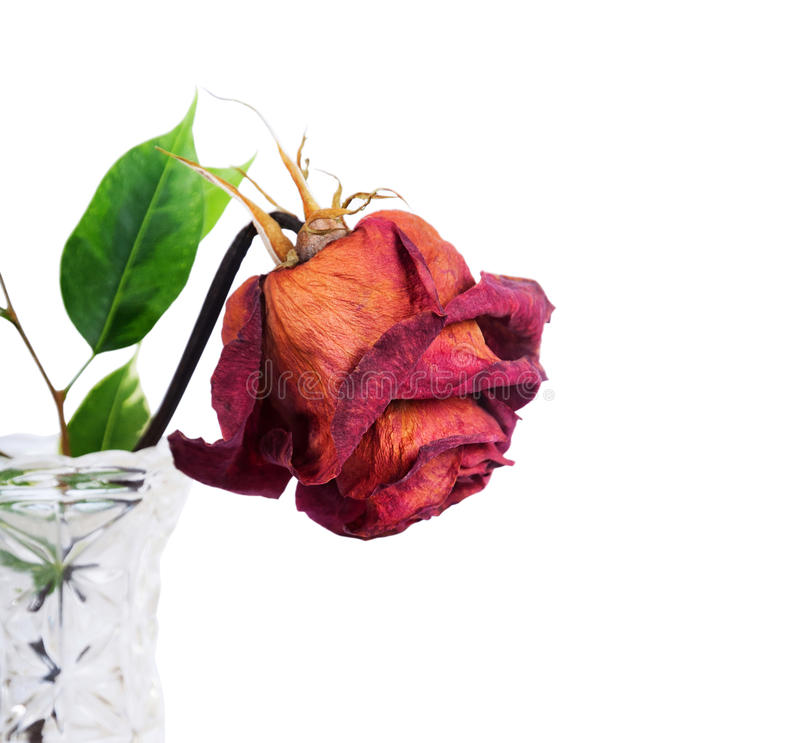 Red rose in vase. Dried red rose in vase on a white background stock images